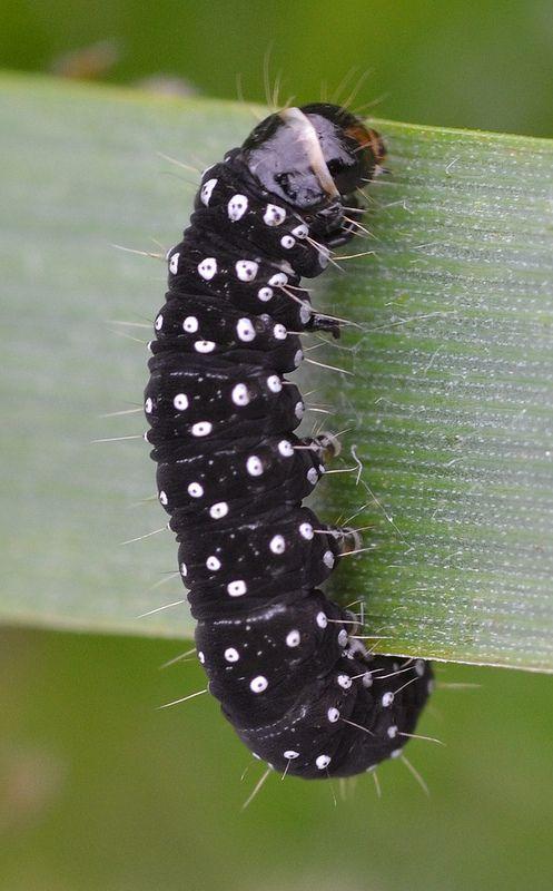 Timothy Tortrix Larva Insekten Und Tiere