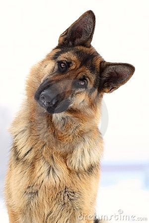 GSD - I just love the head tilt!!! I can't help it my chest swells & I haveta laugh at my furry babies