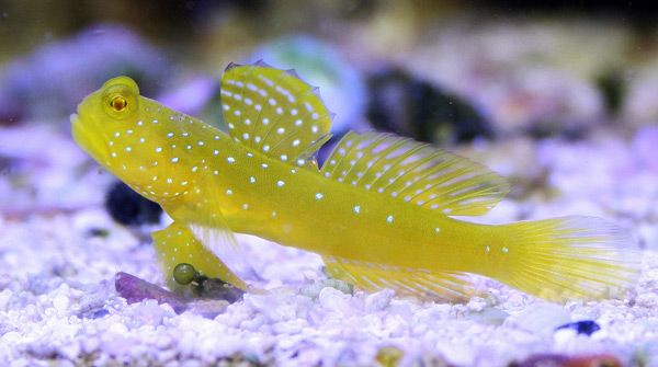 Yellow Watchman Goby Saltwater Tank Saltwater Aquarium Goby Fish