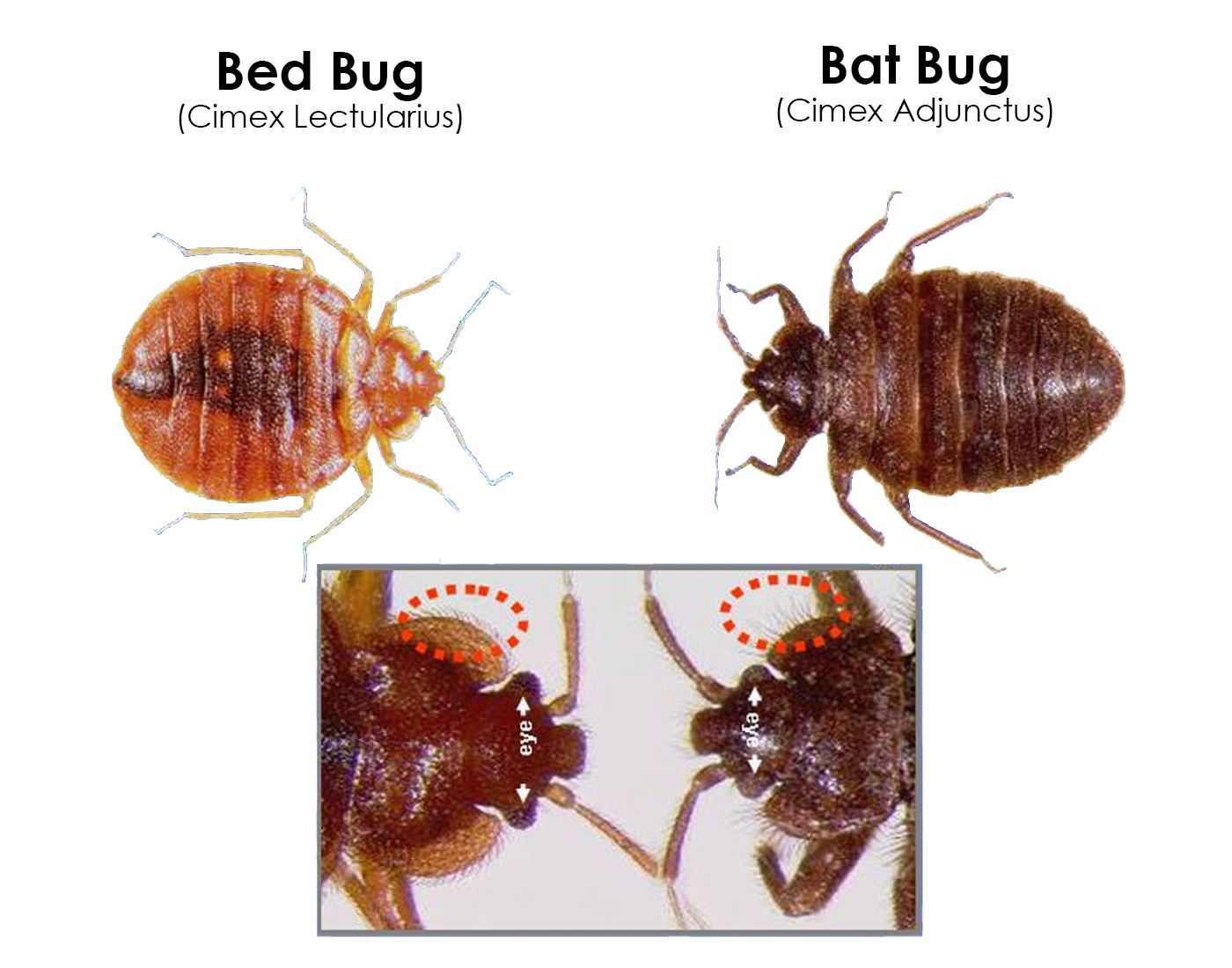Pin By Sherif Habib On Rendom New Bed Bugs Material Bed Bugs