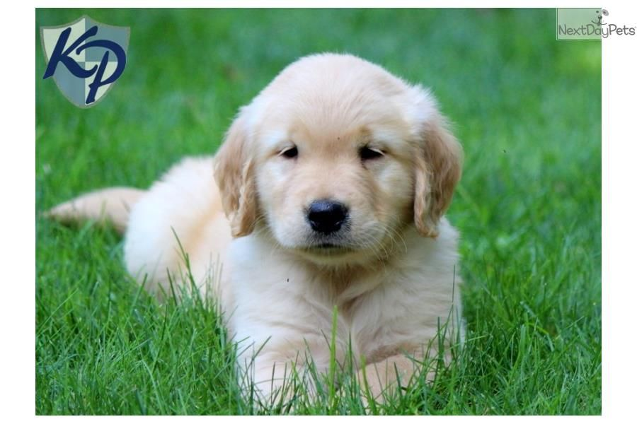You Ll Love This Male Golden Retriever Puppy Looking For A New