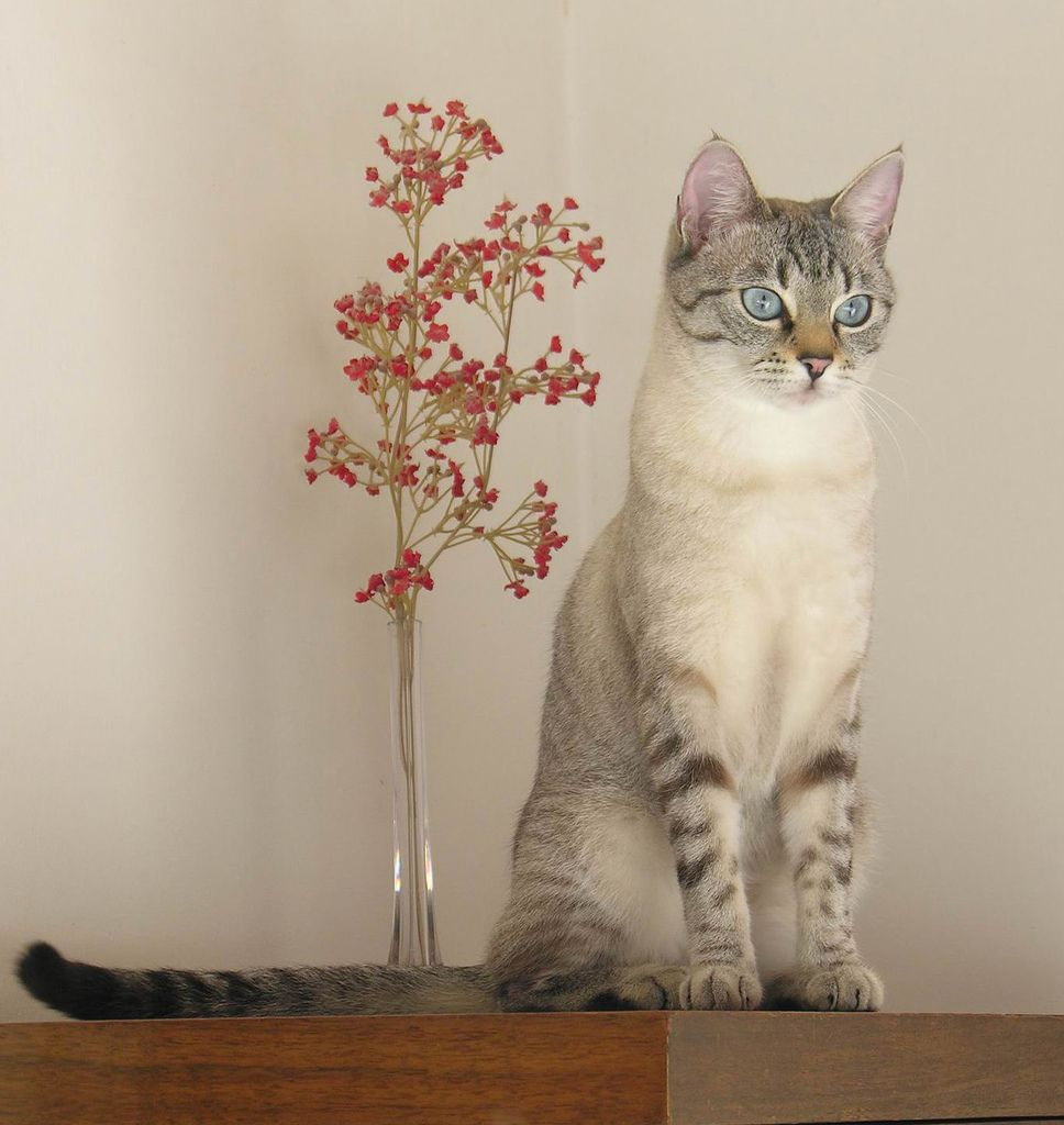 Beautiful lynx point siamese inspiration things for Siamese 9 electric motor