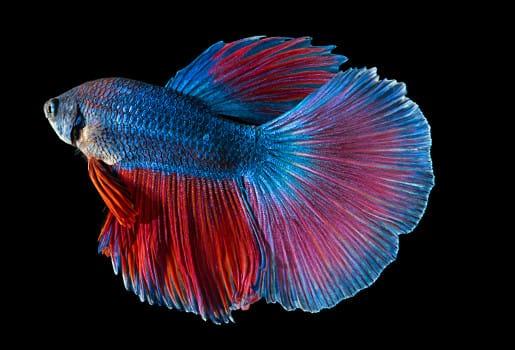 Betta Fish Fish Thailand Png Transparent Clipart Image And Psd File For Free Download Betta Ikan Cupang Ilustrasi Vektor
