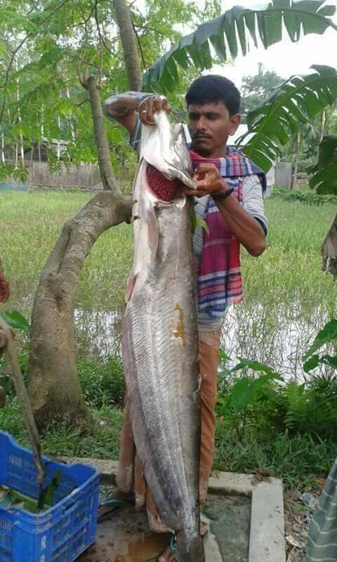 Beautiful Bangladesh: A huge Boal (a sweetwater fish) caught