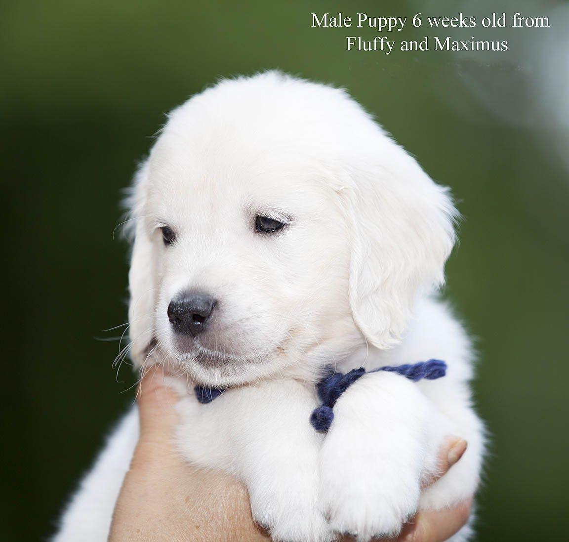White English Cream Golden Retriever Pups Fl Az Ca Ma Tx Nj Ny Pa Ct Ri De Retriever Puppy Golden Retriever Retriever