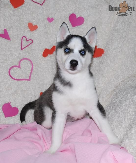 Pin By Vanessa Salge On Cute Animals Husky Puppies For Sale