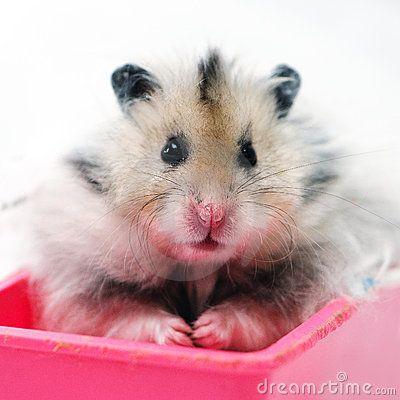 Mohawk Hamster Long Haired Syrian Hamster Syrian Hamster Cute Hamsters Hamster