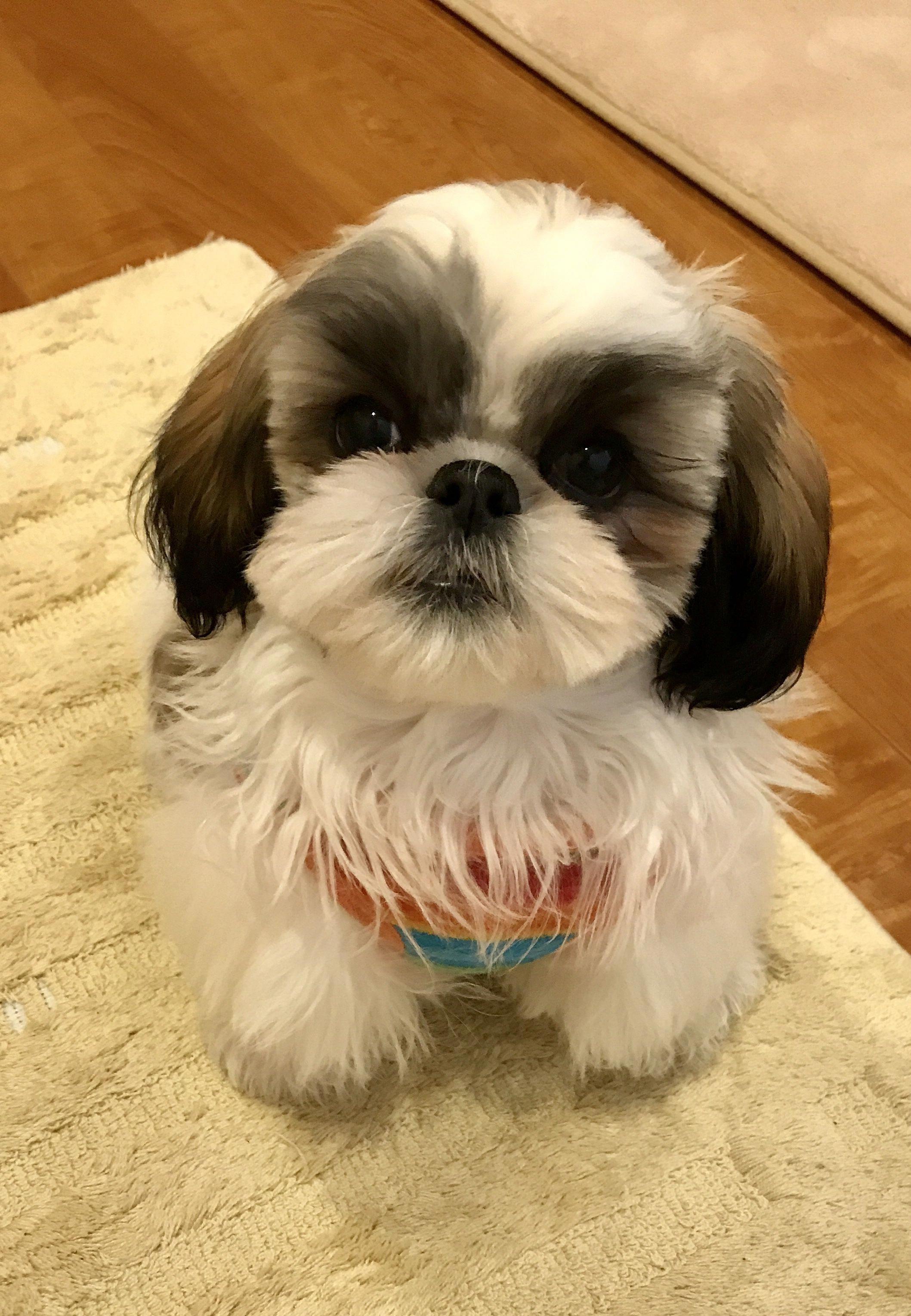 Discover Smart Shih Tzus Exercise Needs Shihtzumania Shitzugoiania Shih Tzu Puppy Shih Tzu Shitzu Puppies