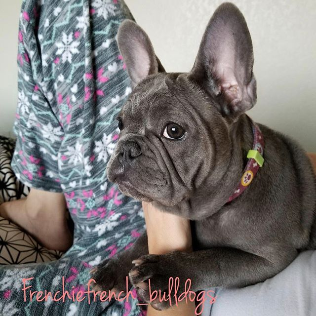 Images Of Imperial Beach California Frenchie Puppy Frenchie