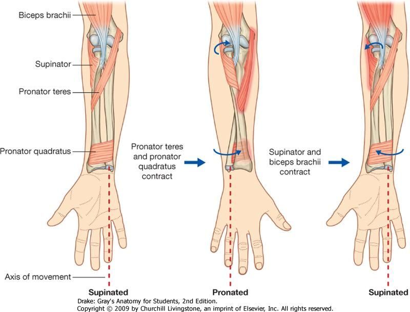 Pronation and supination of the forearm: Biceps brachii, Supinator ::  Pronator teres,