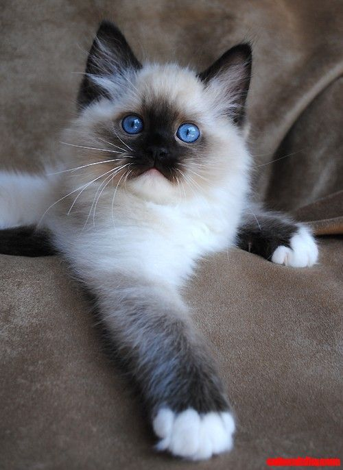 Siamese Kitten Piercing Blue Eyes Cute Cats Hq Pictures Of Cute Cats And Kittens Free Pictures Of Funny Cats And Photo Of Cute Kittens Best Cat Breeds Ragdoll Cat