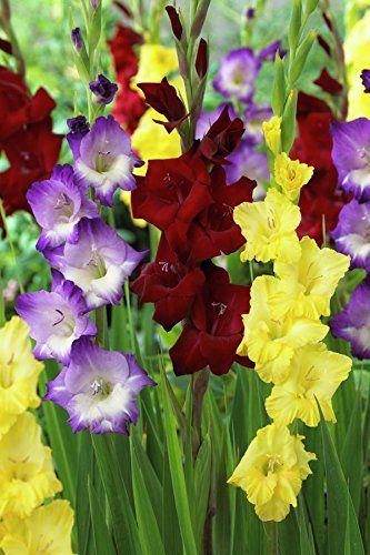 Van Zyverden Gladiolus De Luxe Blend Set Of 25 Bulbs Van Zyverden Http Www Amazon Com Dp B01ax6u5wi Ref Cm Sw R Pi Bulb Flowers Gladiolus Bulbs Gladiolus