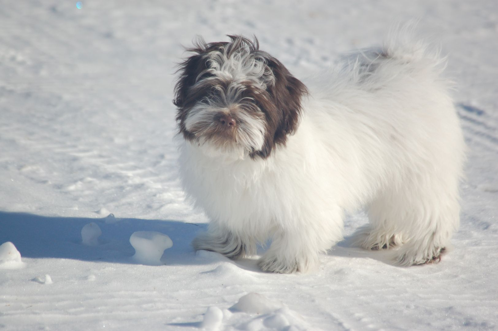 Akc Chocolate Puppies For Sale In Maine Toy Dog Maine Havanese Gray Me Puppies For Sale Havanese Puppies