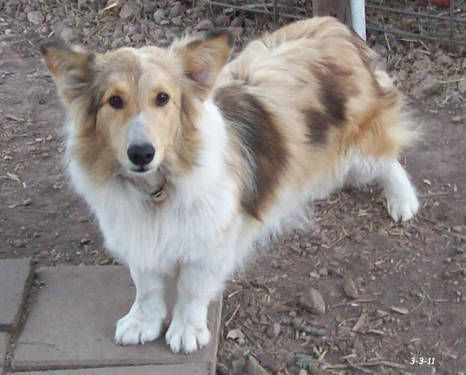 Pin By Poppy Jumper On Pups And Such Corgi Cross Breeds Hybrid Dogs Dog Crossbreeds