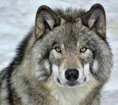 Image Result For Timberwolves Animal Wolf Spirit Animal Wolf