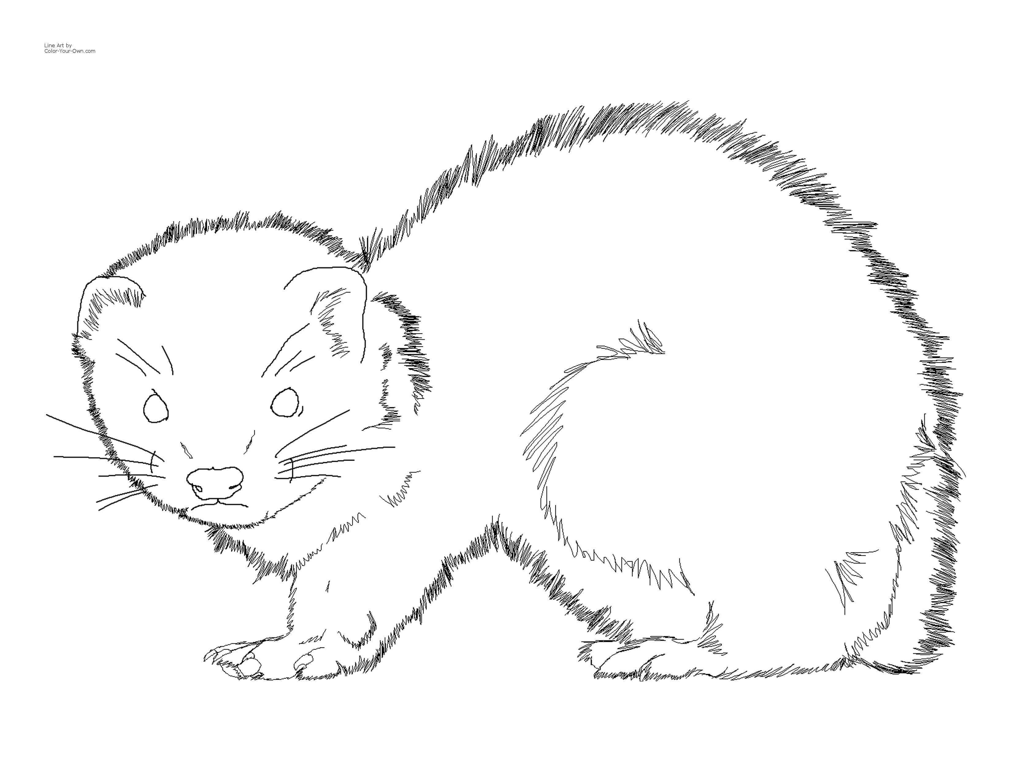 3300 2550 In 2020 Coloring Pages Baby Ferrets Animal Coloring