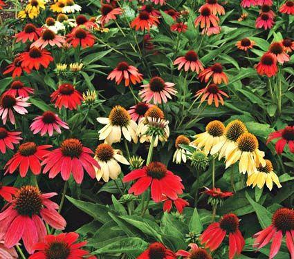 Perennials flowers perennials plants white flower farm perennials flowers perennials plants white flower farm mightylinksfo Choice Image