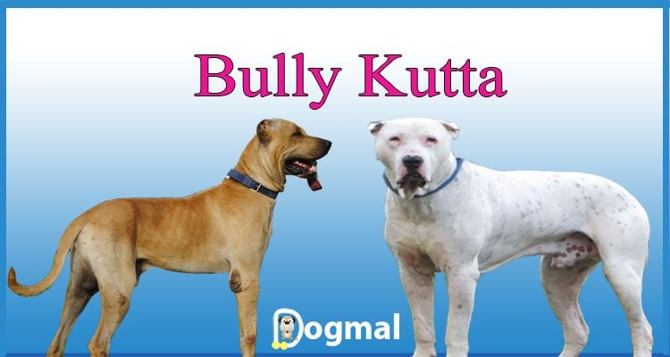 Bully Kutta Dog Breed Rare Dogs Dogs Mastiff Dogs