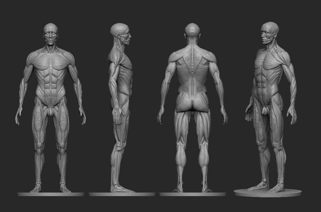 Male Ecorche Human Anatomy Reference 3d Print Model In 2018 3d