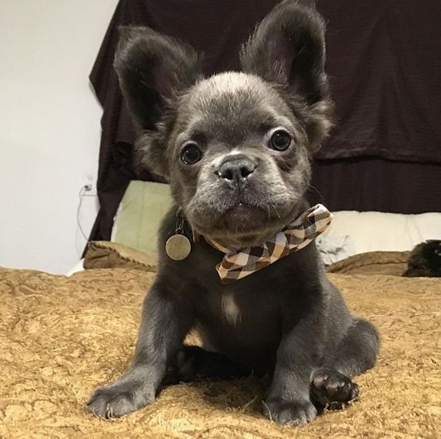 Fozzy The Frenchie A Long Haired French Bulldog With Images