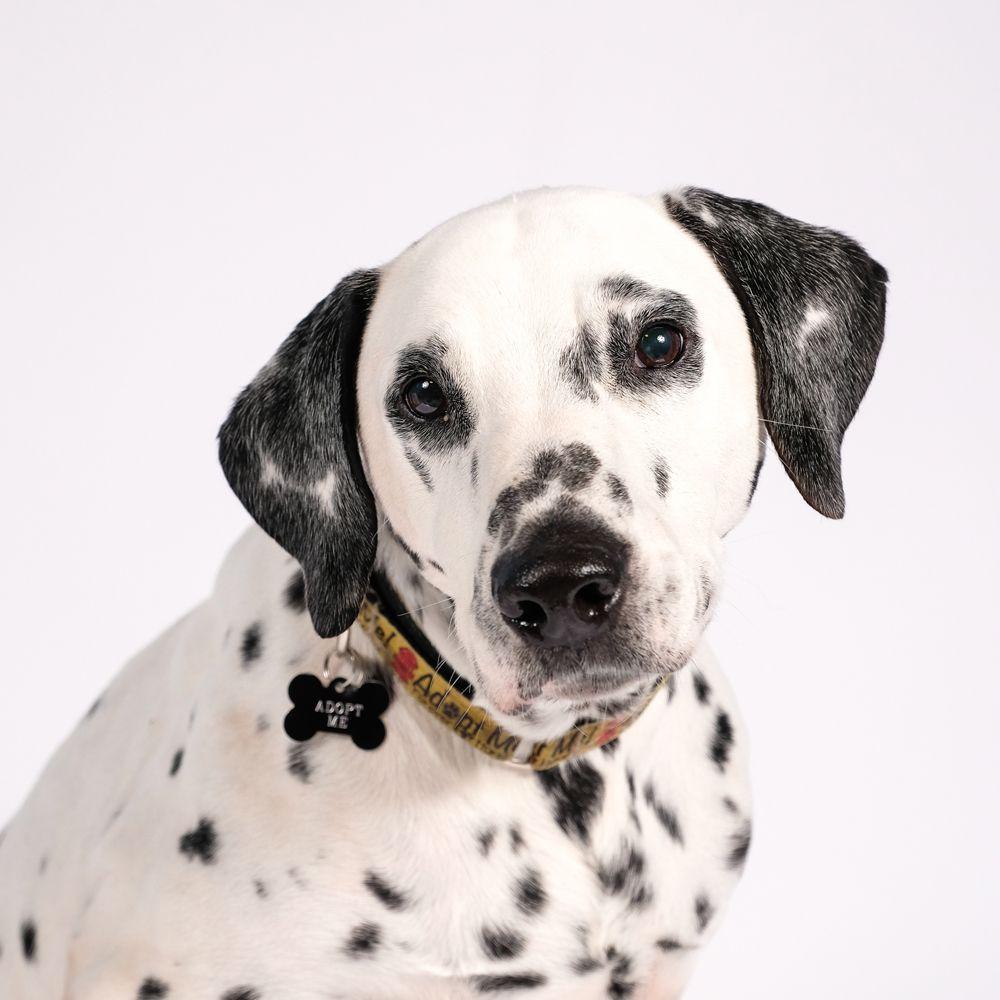 Dalmatian dog for adoption in st louis park mn adn