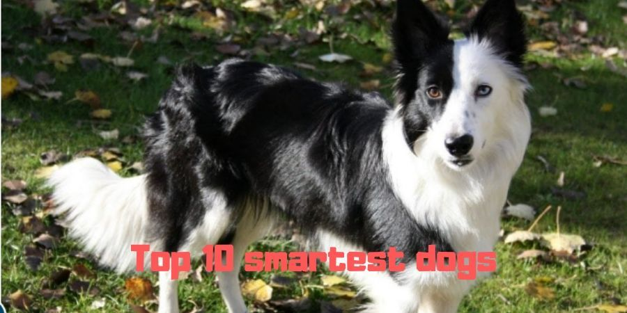 Top 10 smartest dogs Breeds You Could Adopt | Top 10 intelligence Dogs  #newpuppy