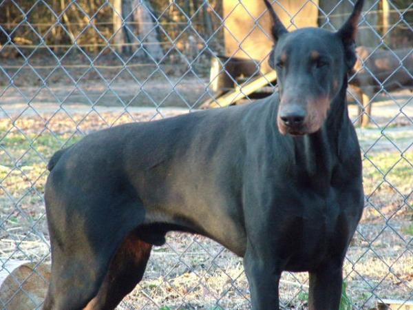 Warlock Doberman Pinscher Kennel Hung S Iron Dog Kennels