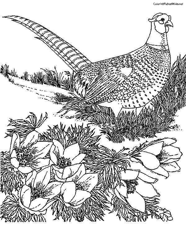 Coloringpages4kids Wp Content Gallery Pheasant