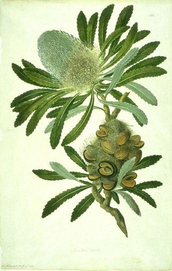 Famous Botanical Artists Botanical Artwork Botanical Drawings Botanical Illustration