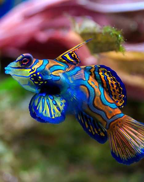 """Dragonets (""""little dragons"""") are an unusual species of bottom-dwelling fish that have no scales. They do have an abundance of showy fins and a wide, triangular head that someone, sometime, reminded someone of dragons. Some species of Dragonets display a brilliant mix of contrasting colors and patterns – they don't call it the Psychedelic Mandarin Dragonet for nothing!"""