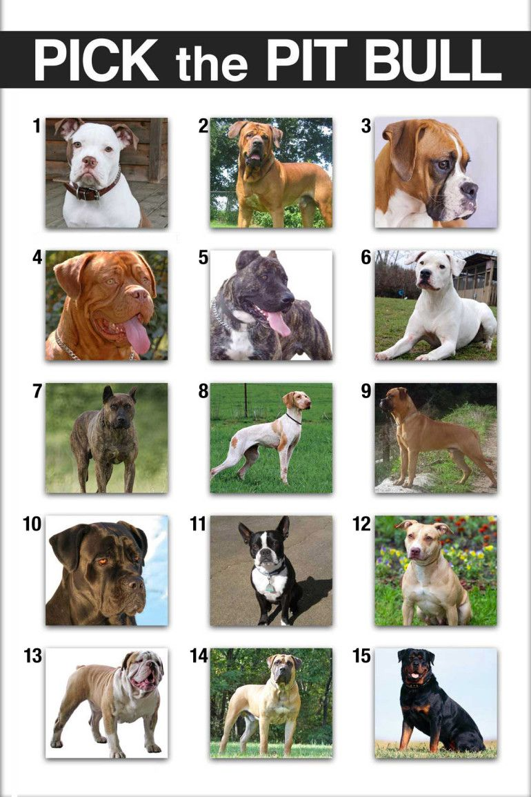 Bully Breeds Chart Google Search Pit Dog Pitbulls American Pitbull Terrier