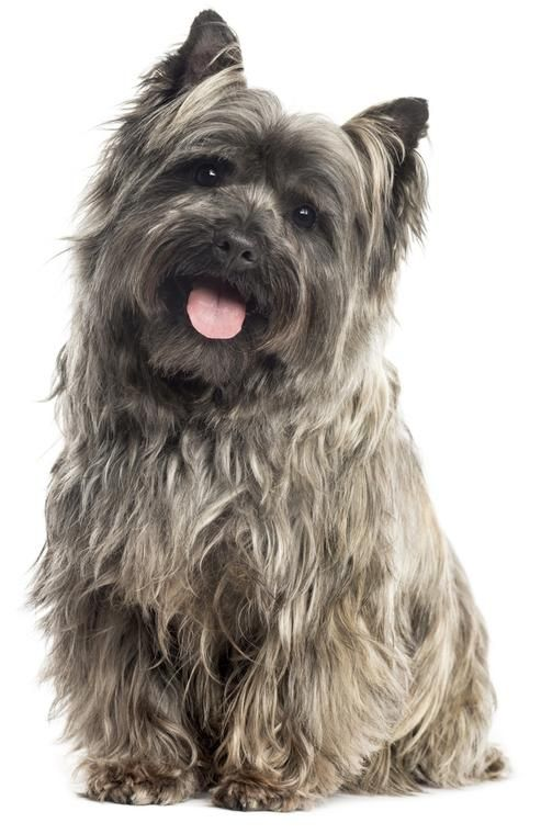 Image Result For Toto Oz Cairn Terrier Cairn Terrier Puppies Terrier
