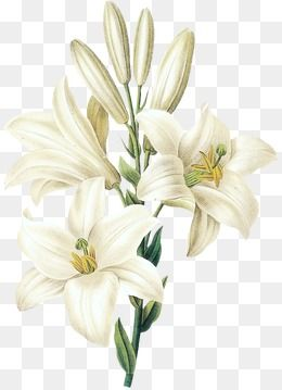 Sesame White Lily Flower Flower Clipart Hand Painted Flowers