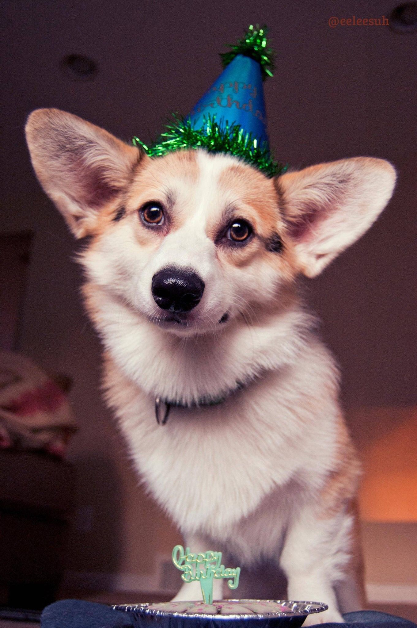 Corgi Dog Wearing A Birthday Hat