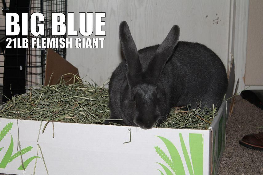 bunny named big blue in his small pet select timothy hay http