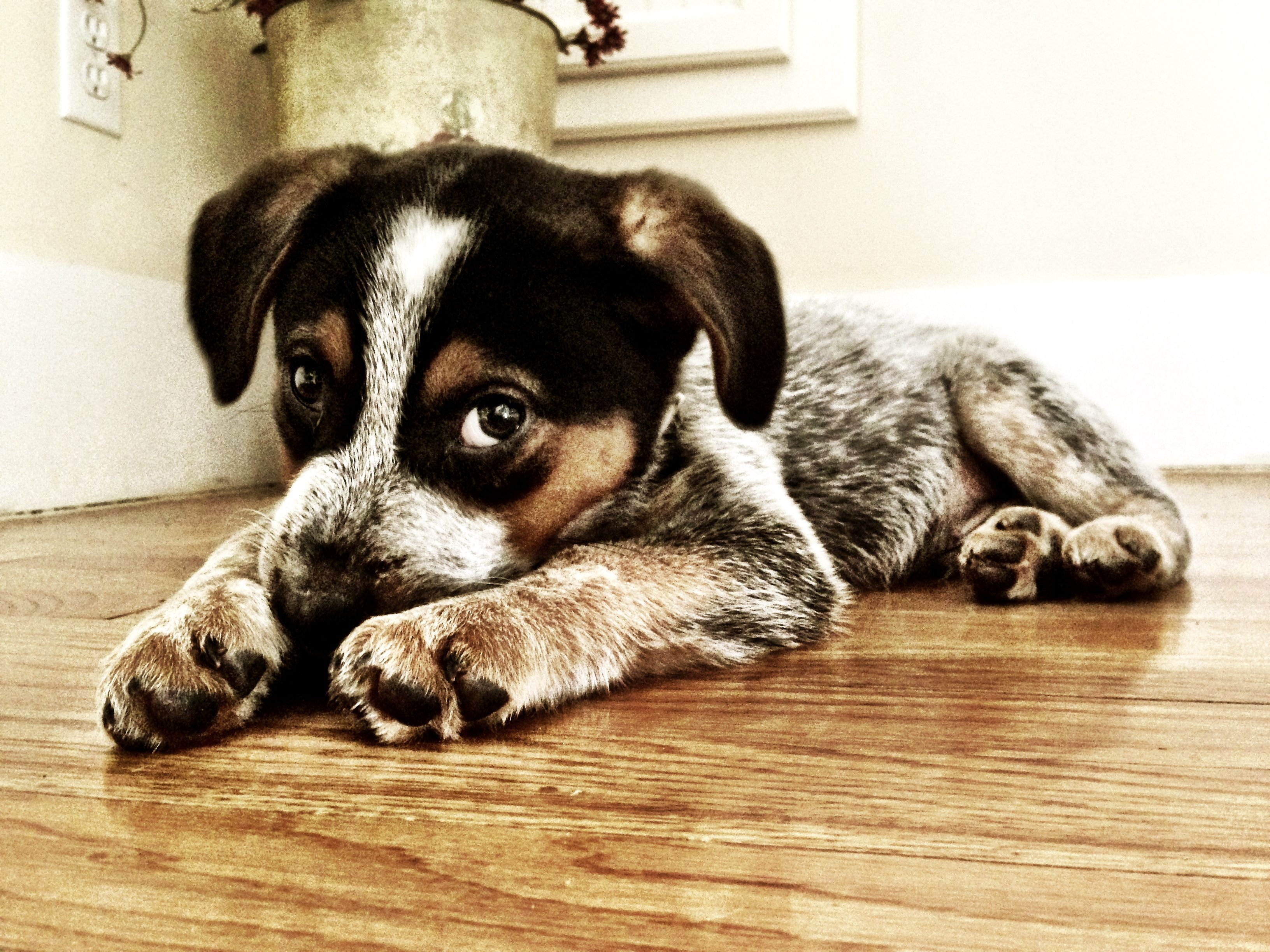 My Winston Blue Heeler Beagle Mix Blue Dog Breed Beagle Mix