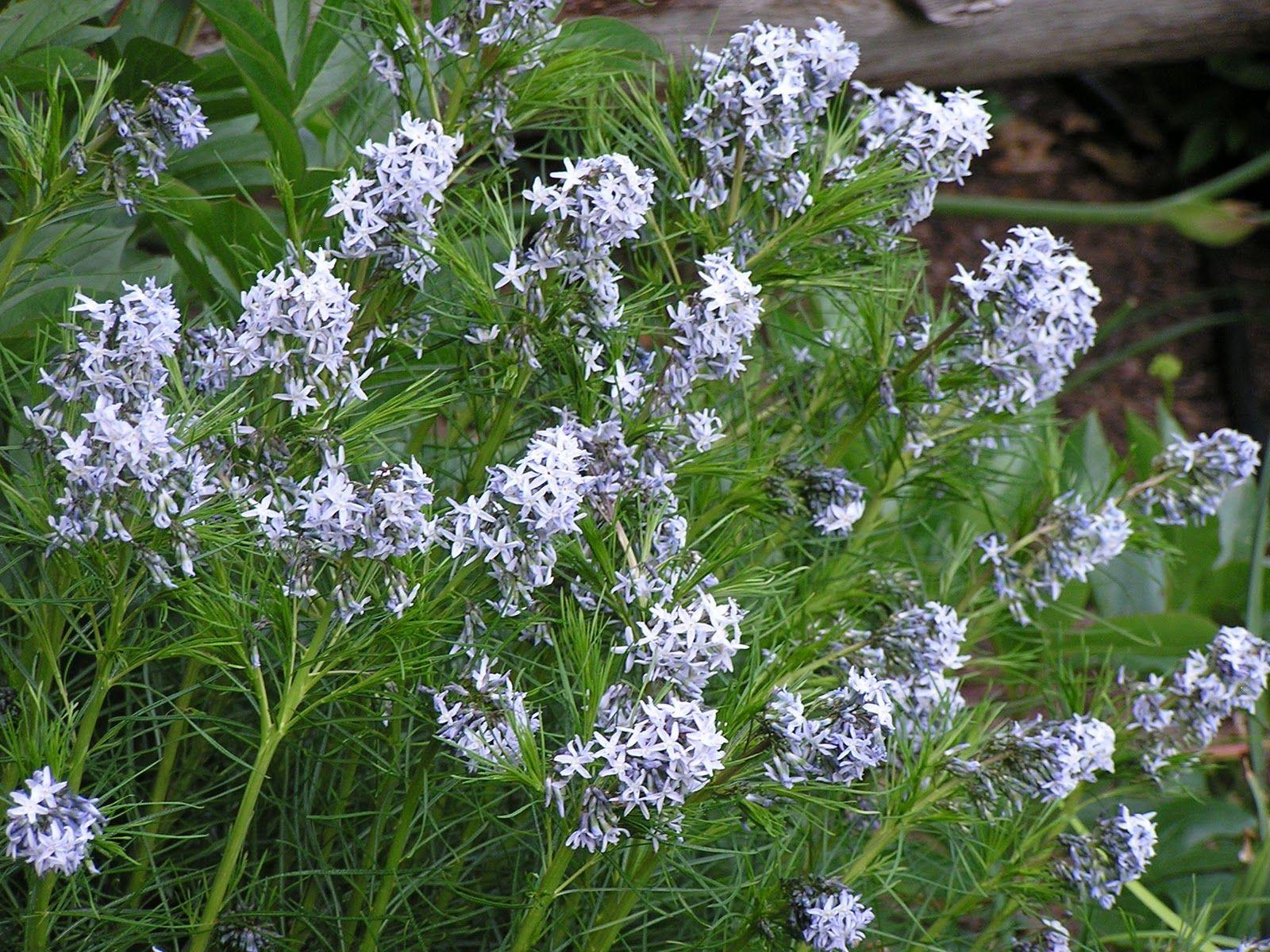 Threadleaf Blue Star Plant Nursery Plants Garden Nursery