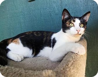 Pictures Of Tiki A Domestic Shorthair For Adoption In Lathrop Ca
