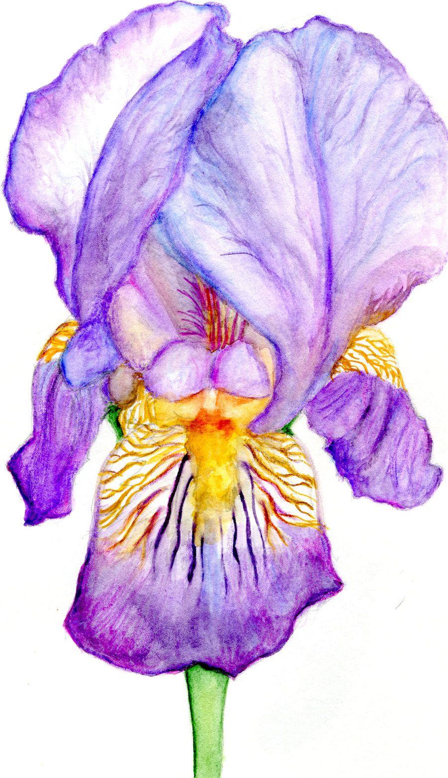 Purple Iris Iris Drawing Flower Painting Flower Drawing