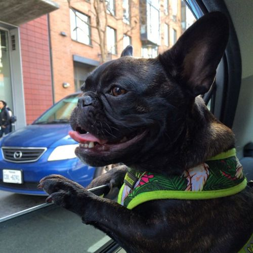 """""""Where Are We Going?"""" French Bulldog."""
