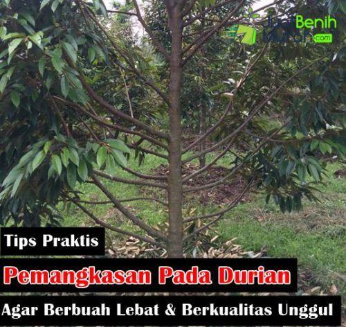 inilah 3 cara praktis pemangkasan pada tanaman buah durian