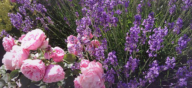 lavender and roses gartenzauber pinterest k bel lavendel und balkon. Black Bedroom Furniture Sets. Home Design Ideas