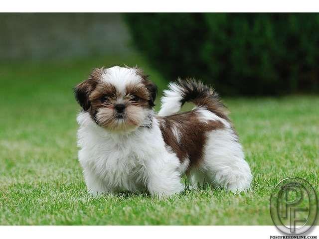 Shih Tzu Puppies For Sale In Mumbai Maharashtra India In Pet