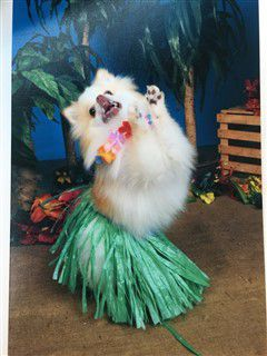 Winner Pomeranian Costume Most Enthusiastic With Images