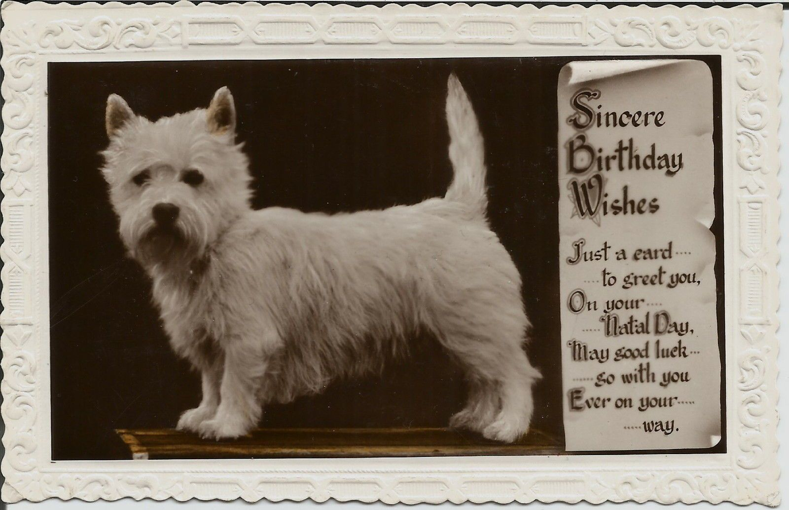 West Highland White Terrier The Old Westie West Highland