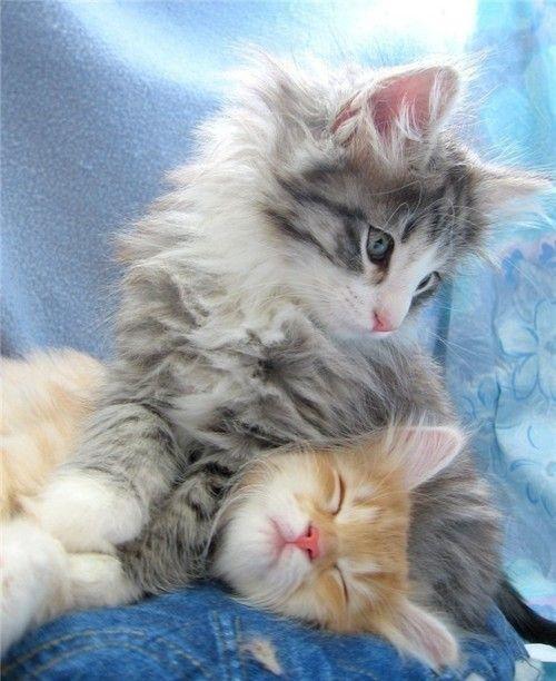 precious!!!! I want a long haired kitty again!!  beautiful :D