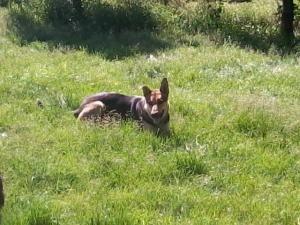 Adopt Dallas 2 On Shepherd Dog German Shepherd Dogs Dogs