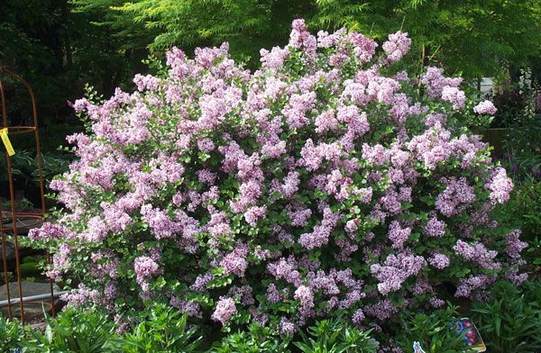 Dwarf Koreen Lilac Currently Have 1 Planted In Landscape Planted In 2009 Plants Garden Shrubs Lilac Bushes