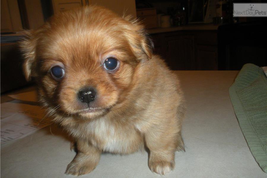 Chihuahua Puppy For Sale Near Louisville Kentucky 3bf5445e 2b81