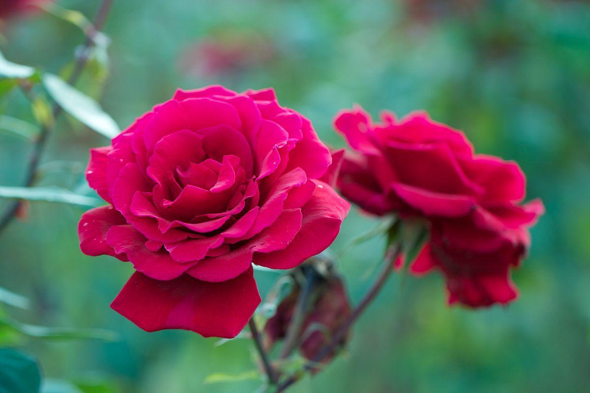 Rosa Nina Weibull Wikipedia La Enciclopedia Libre Rose Nina Weibull Floribunda Rosa Wikipedia File Commons Wikimedia Roses P In 2020 Floribunda Roses Rose Flowers